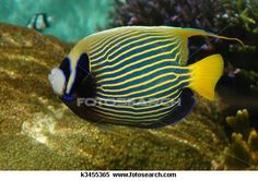 Stock Image of A bright tropical fish with stripes (Emperor Angelfish - Pomacanthidae) k3455365 - Search Stock Photos, Mural Pictures, Photographs, and Photo Clipart - k3455365.jpg