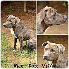 Siler City, NC - Boxer Mix. Meet Max, a dog for adoption. http://www.adoptapet.com/pet/13878264-siler-city-north-carolina-boxer-mix