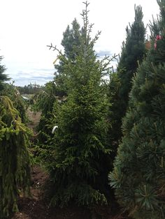 Tolleymore Norway spruce is a dwarf variety that is beautiful with light green new growth, it should only get about 12-15' tall, perfect for small yards.