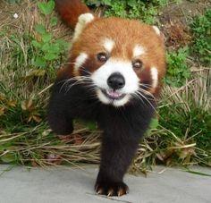 Red Panda says hi!