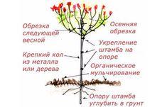 Штамбовое деревце из гортензии