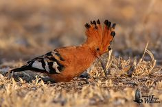 Leave fallen leaves and logs in the garden as these will provide micro-habitat for various insects, grubs and worms, which will in turn attract insect feeders such as Cape robin-chats, Karoo and olive thrushes as well as this lovely African hoopoe. Autumn Leaves, Fallen Leaves, Habitats, Westerns, Cape, African, Birds, Grubs, Logs