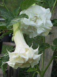 Angel #trumpet learn 2 #grow  http://www.growplants.org/growing/angel-trumpet #angel #brugmansia