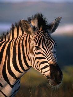 Plains Zebra Burchell's Zebra Hluhluwe-Umfolozi Park Kwazulu-Natal South Africa by Ariadne Van Zandbergen Plains Zebra, Durban South Africa, Kwazulu Natal, Out Of Africa, Game Reserve, African Animals, Pictures To Draw, Zebras, Wildlife Photography