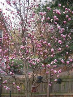 Tulip Trees (Japanese Magnolia). I want one. Or five.