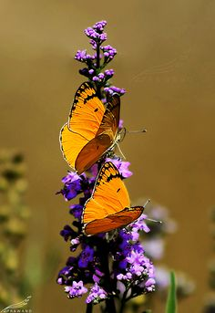 Scientific name: Colotis fausta! (common name: Large Salmon Arab Butterfly), Middle East, North Africa, Central Asia