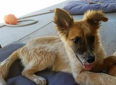 Daphne is an adoptable Australian Shepherd searching for a forever family near Prescott, AZ. Use Petfinder to find adoptable pets in your area.