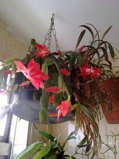 Flor de Maio.