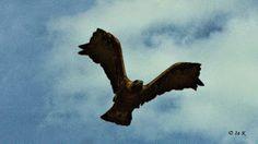 Birds (Avis) ჩიტები: მთის არწივი - The golden eagle (Aquila chrysaetus)