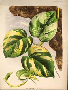 Epipremnum aureum (Linden & André) G.S.Bunting [as Pothos aureus Linden & André] L' Illustration horticole, vol. 27: t. 381 (1871)
