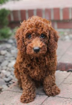🧡😀 #MiniPoodle pups are loving, loyal, and #Playful!! They enjoy being around people and other dogs, and they love to be the center of attention. ▬▬▬▬▬▬▬▬▬▬▬▬▬▬▬▬▬▬▬ #Charming #PinterestPuppies #PuppiesOfPinterest #Puppy #Puppies #Pups #Pup #Funloving #Sweet #PuppyLove #Cute #Cuddly #Adorable #ForTheLoveOfADog #MansBestFriend #Animals #Dog #Pet #Pets #ChildrenFriendly #PuppyandChildren #ChildandPuppy #BuckeyePuppies www.BuckeyePuppies.com