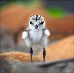 The Adorable baby Kentish Plover or Snowy Plover (Charadrius alexandrinus).