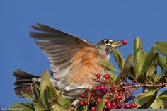 Winter robin finds berries to eat