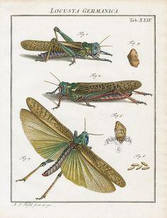 Locusts from Roesel von Rosenhof Der Insecten Belustigung Lobster, Scorpion, Spider, Locust Insect Prints 1740
