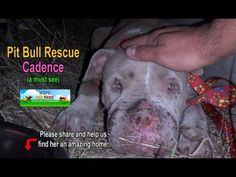 Saving Cadence - an abused Pit Bull shows us the power of second chances. Please share. - YouTube