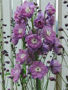 Delphinium x cultorum 'Centurion Rose'