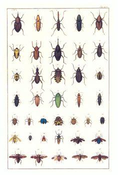 Natural curiosities from the cabinet of Albertus Seba. Weevils, beetles and aculeate hymenopterans.