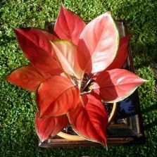 Tanaman Aglaonema All Star Red