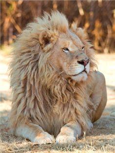 """pride-stalker: """" funnywildlife: Handsome White Lion!! """""""