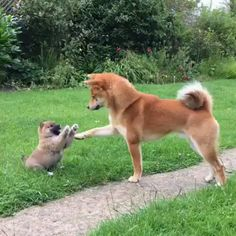 Tagged with , Aww; Shiba trying to calm down their pup Akita Dog, Cute Puppies, Cute Dogs, Dogs And Puppies, Chien Akita Inu, Sweet Dogs, Japanese Dogs, Puppy Play, Mundo Animal