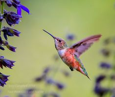Rufous Hummingbird Female Photo by tony campbell -- National Geographic Your Shot