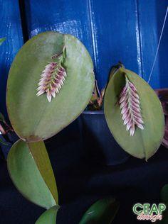 Acianthera pectinata