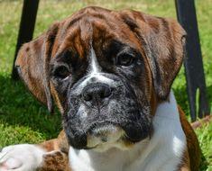 Boxer puppy 🐶