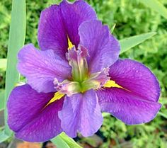 Louisiana (LA) Iris 'Whereyat' (O'Connor, 2003)