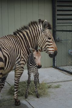 'Abbey', a 14-year-old Hartmann's Mountain Zebra, at the Virginia Zoo, gave birth to a female foal April 13th. Check out ZooBorns to see more and learn more! http://www.zooborns.com/zooborns/2015/04/new-birth-has-virginia-zoo-seeing-stripes.html