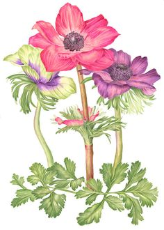 Anemones Botanical Print - Botanical Flower Art Watercolor Painting by Sally Jacobs Illustration Botanique, Art Et Illustration, Botanical Illustration, Illustrations, Anemone Flower, Flower Art, Pink Flowers, Watercolor And Ink, Watercolor Flowers