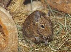 Degu, Hamster, Chinchilla, Guinea Pigs, Pissed Off, Animal Shelter, Small Animals, Wild Animals, Chinchillas