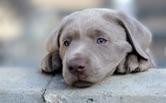 Download wallpapers Weimaraner Dog, cute dog, puppy, pets, gray dog, muzzle, cute animals, dogs, Weimaraner for desktop free. Pictures for desktop free