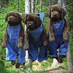 Chocolate Labs in bibs