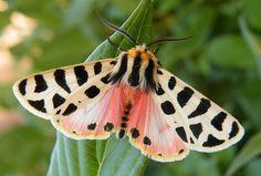 Nevada Tiger Moth (Grammia nevadensis) via Wwweird