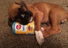 Hungry, sleepy boxer puppy