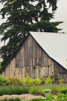 old barn at Lost Mountain Lavender farm, Sequim, Washington