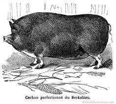 Illustration showing a Berkshire pig, a rare breed of pig originating from Britain. In New Zealand it is estimated that there are now less than a hundred purebred sows