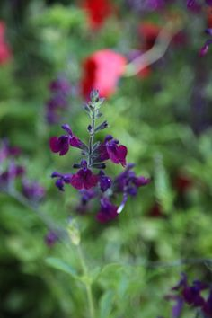 Salvia × jamensis 'Nachtvlinder' - Velvet-like plum-purple petals form hooded flowers over a long period in summer and autumn. Fully hardy in freely draining soils, this bushy shrub will become drought tolerant once established.