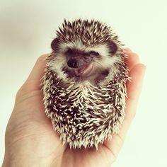 laughing hedgehog