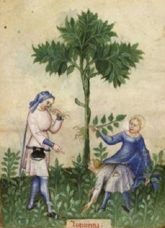 Liquorice gathering, Tacuinum Sanitatis, 14th century.