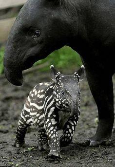 Malaysian tapir..