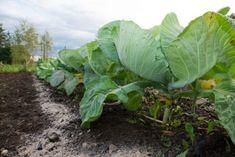 """Aceste legume nu pot trăi una fără alta, trebuie să fie neapărat alături! Această """"vecinătate"""" va aduce o mulțime de beneficii... - Fasingur Growing Cabbage, Garden Beds, Gardening, Stock Photos, Vegetables, Instagram, Beauty, Fashion, Plant"""