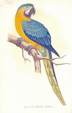 Merry St. John's watercolor of Peter the Macaw.