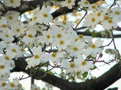 Dogwood Trees and Easter...maybe next year our dogwood bloom will coincide with Easter