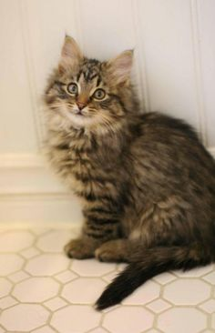 Leia is an adoptable Domestic Long Hair - brown, Tabby - Brown Cat in Sherwood Park, AB Leia is a stunning brown tabby kitten from one of NASAP's partner pounds. She came into care wi ... ...Read more about me on @petfinder.com