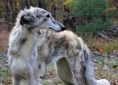 Silken Windhound. I want one, or two...