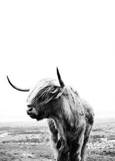 Highland cow Plakat