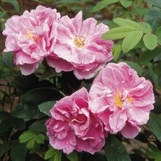 Therese Bugnet - rugosa rose