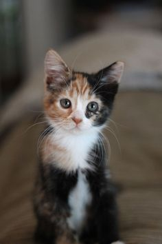 what a sweet little calico baby :)