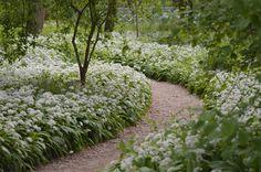 Wild garlic trail at coughton court